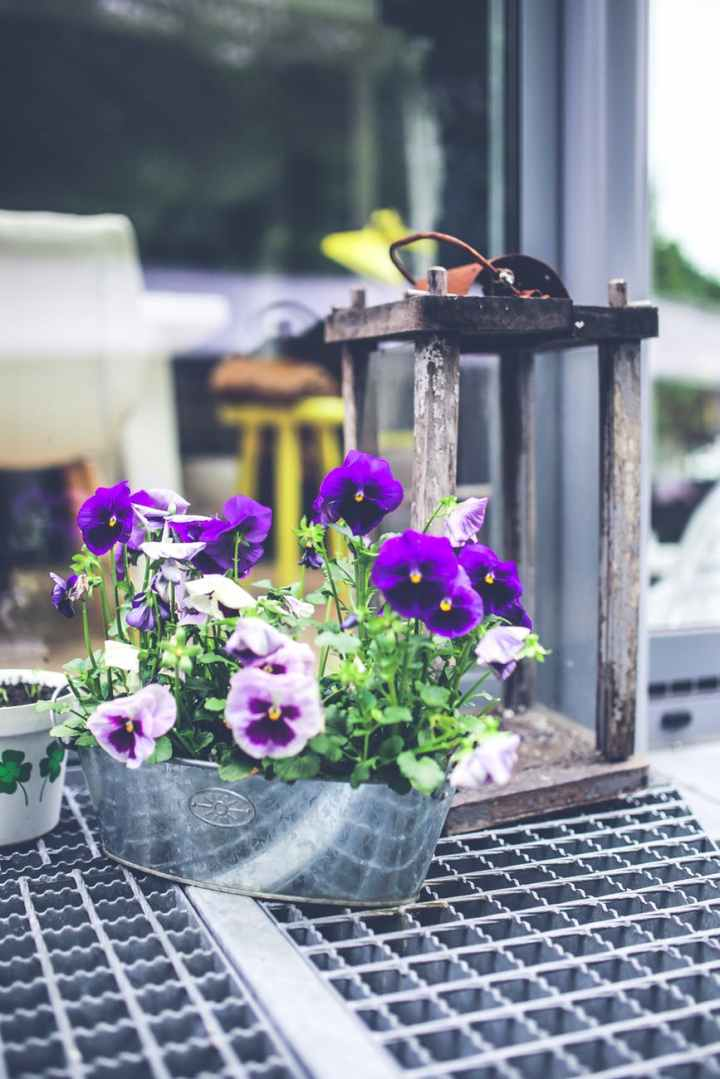 old lantern pansies